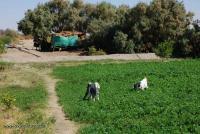 15-Sudan_Goats.jpg